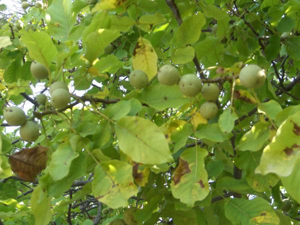 фото орех дерево